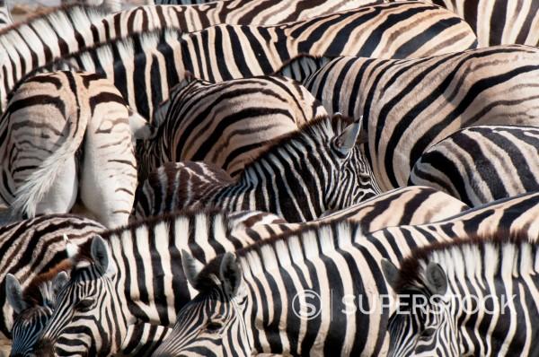 Stock Photo: 1890-144283 Burchell´s zebra Equus burchellii, Etosha National Park, Namibia. Africa