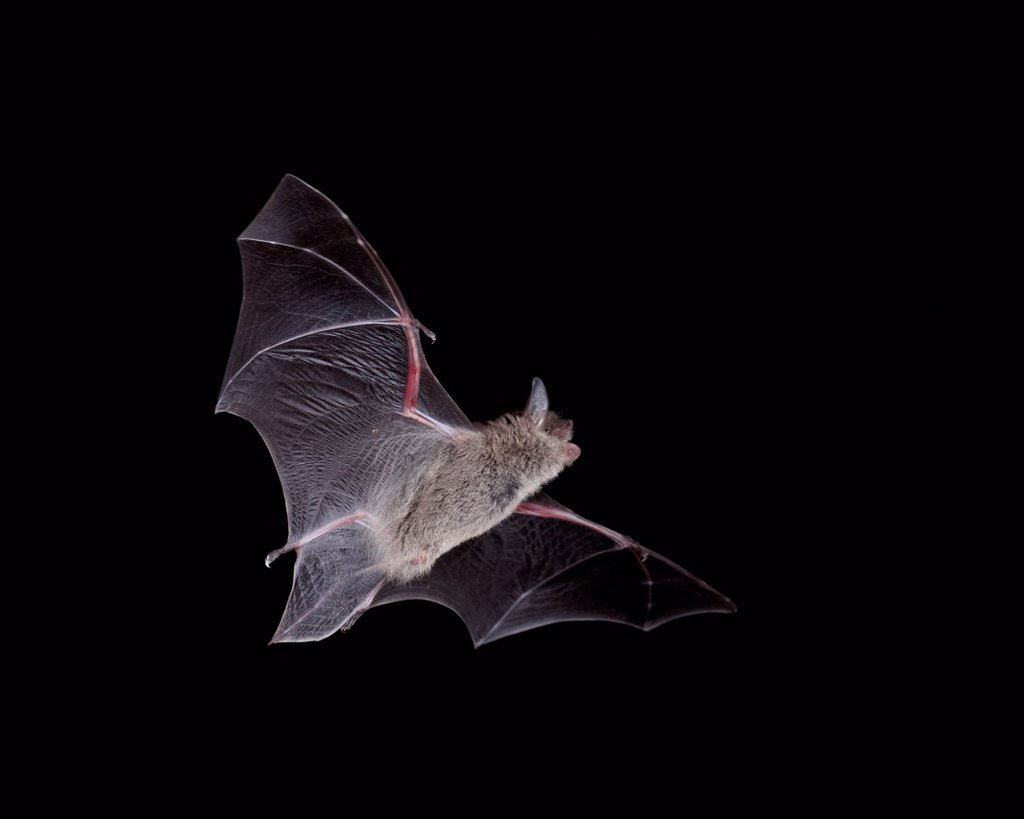 Cave Myotis Myotis velifer in flight in captivity, Hidalgo County, New Mexico, United States of America, North America : Stock Photo