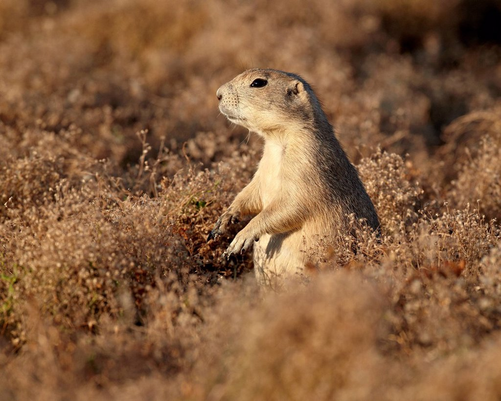 Blacktail prairie dog Cynomys ludovicianus, Theodore Roosevelt National Park, North Dakota, United States of America, North America : Stock Photo