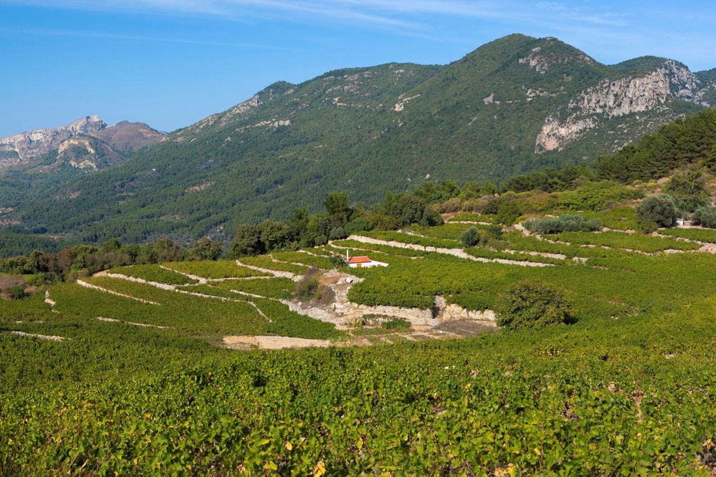 Stock Photo: 1890-145022 Vineyards in centre of island, Platanos, Samos, Aegean Islands, Greece