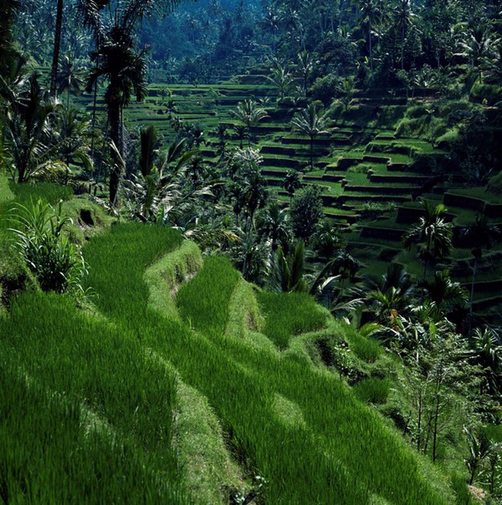 Terraced rice fields near Gagah, Bali, Indonesia, Southeast Asia, Asia : Stock Photo