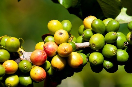 Coffee growing, Santiago Atitlan, Guatemala, Central America : Stock Photo