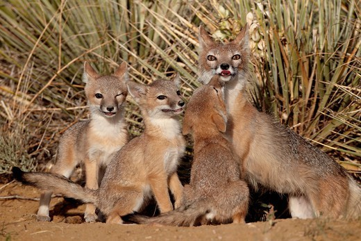 Swift fox Vulpes velox vixen and three kits at their den, Pawnee National Grassland, Colorado, United States of America, North America : Stock Photo