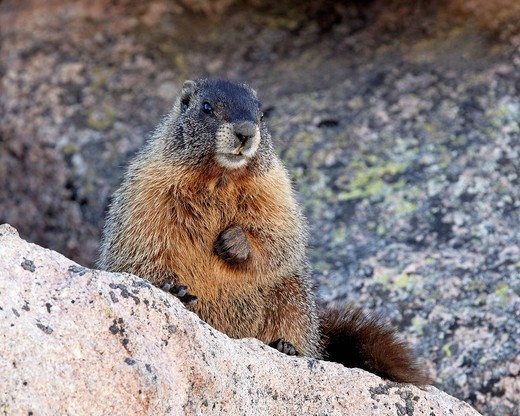 Yellow_bellied marmot yellowbelly marmot Marmota flaviventris, Mount Evans, Arapaho_Roosevelt National Forest, Colorado, United States of America, North America : Stock Photo