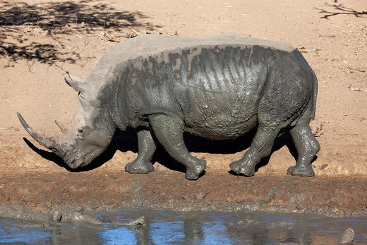 Stock Photo: 1890-146385 White rhino Ceratotherium simum, Mkhuze game reserve, Kwazulu Natal, South Africa, Africa
