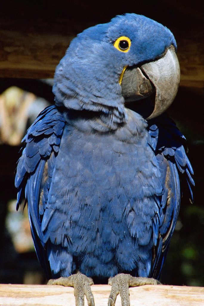 Stock Photo: 1890-14683 Macaw of Amazonia, Brazil, South America