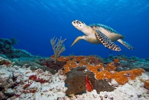 Sea turtle Chelonioidea, Cozumel, Mexico, Caribbean, North America : Stock Photo