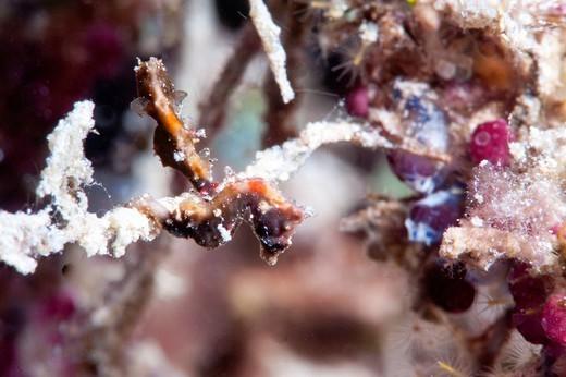 Pygmy seahorse Hippocampus pontohi, Sulawesi, Indonesia, Southeast Asia, Asia : Stock Photo
