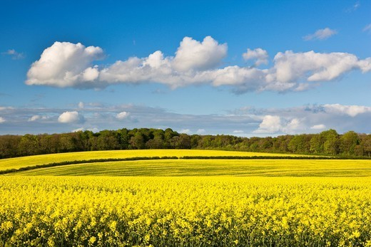 Fields of oilseed rape in springtime, Bramham, West Yorkshire, Yorkshire, England, United Kingdom, Europe : Stock Photo