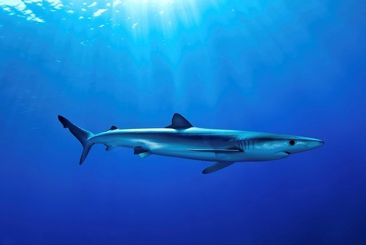 Stock Photo: 1890-148623 Blue shark Prionace glauca in the Azores, Portugal, Atlantic, Europe