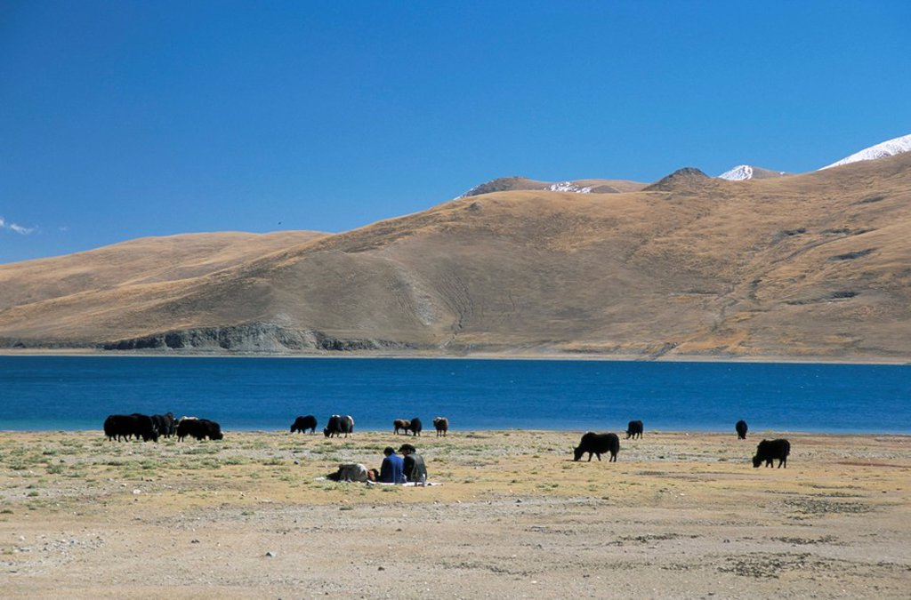 Yaks graze by Yamdrok Lake beside old Lhasa_Shigatse road, Tibet, China, Asia : Stock Photo
