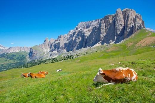Cattle, Sella Pass, Trento and Bolzano Provinces, Italian Dolomites, Italy, Europe : Stock Photo