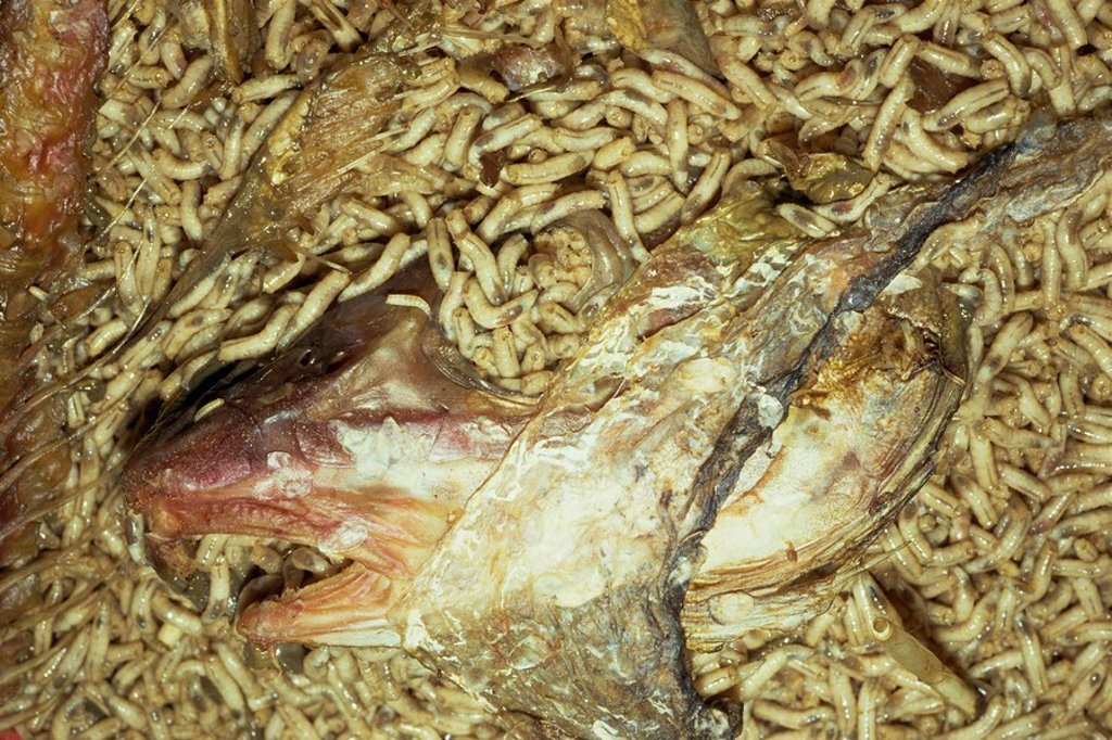 Stock Photo: 1890-15186 Maggots picking clean fish´s head among their offal food on maggot farm, Nottingham, Nottinghamshire, England, United Kingdom, Europe