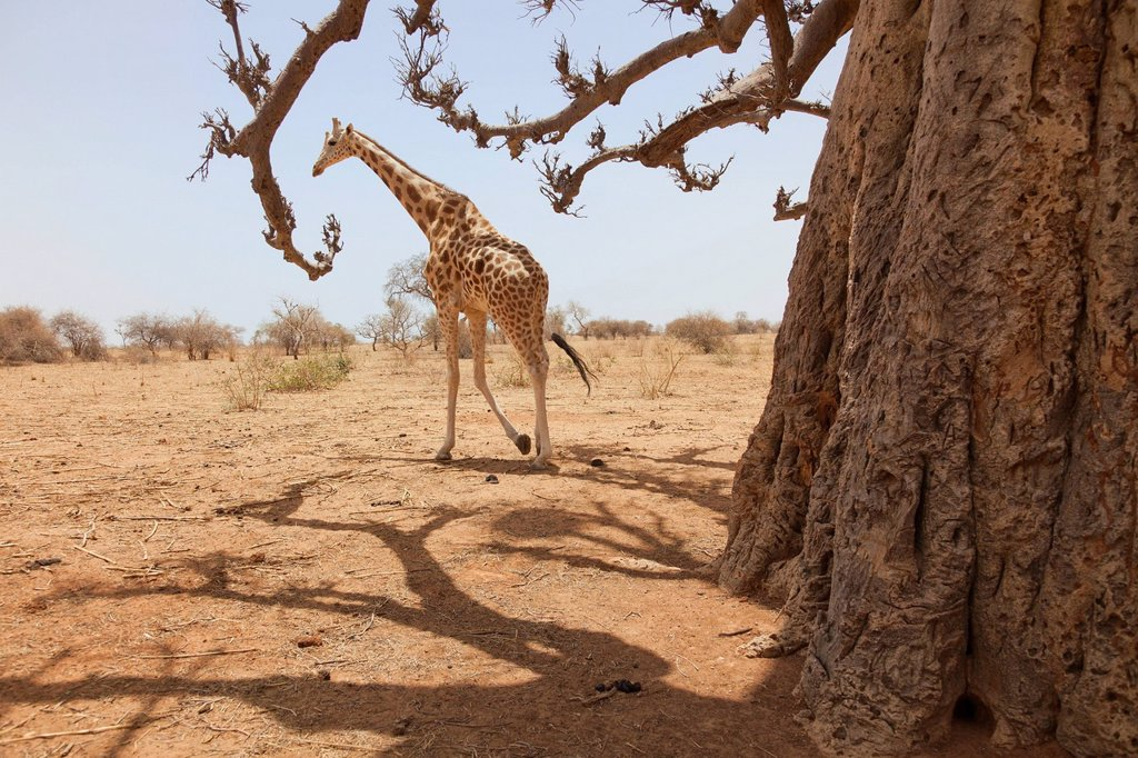 Stock Photo: 1890-154159 Giraffe in the park of Koure, 60 km east of Niamey, one of the last giraffes in West Africa after the drought of the seventies, they remain under the threat of deforestation, Niger, West Africa, Africa