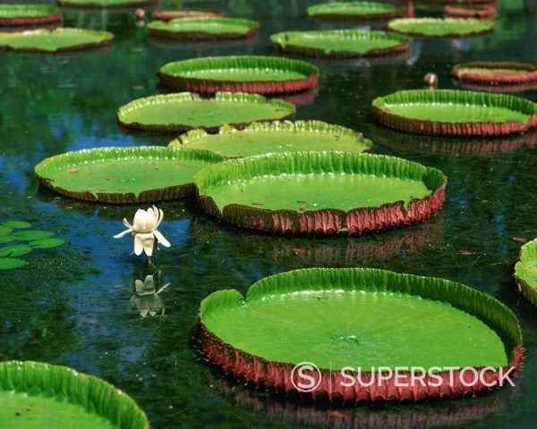 Water lilies : Stock Photo