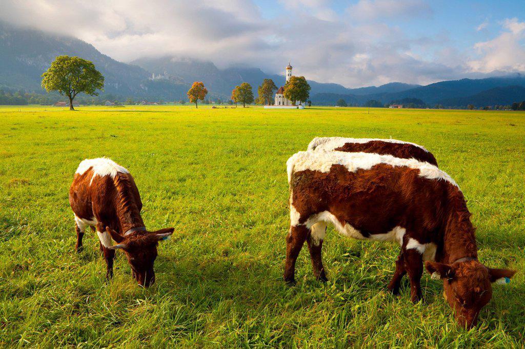 Cattle grazing with Saint Koloman Church and Neuschwanstein Castle in the background, near Fussen, Bavaria, Germany, Europe : Stock Photo