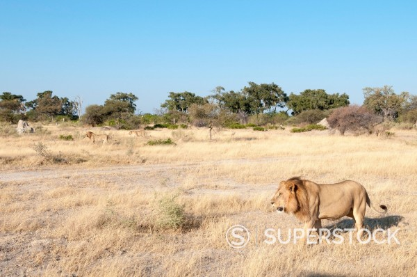 Lions (Panthera leo), Chief Island, Moremi Game Reserve, Okavango Delta, Botswana, Africa : Stock Photo