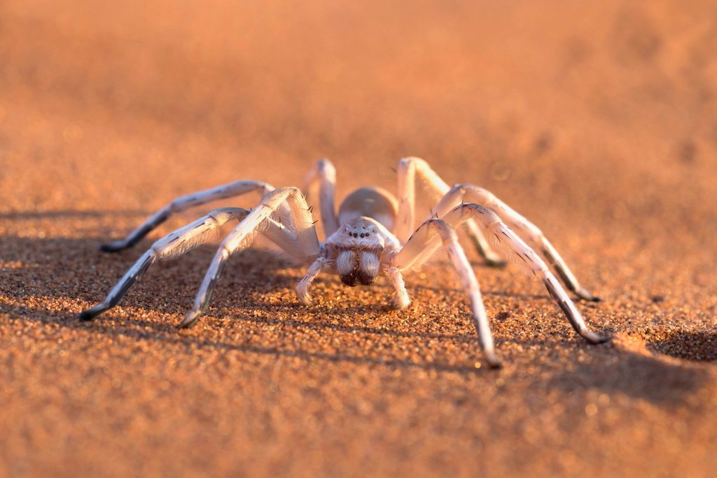 Stock Photo: 1890-171486 Dancing white lady spider (Leucorchestris arenicola), Namib Desert, Namibia, Africa