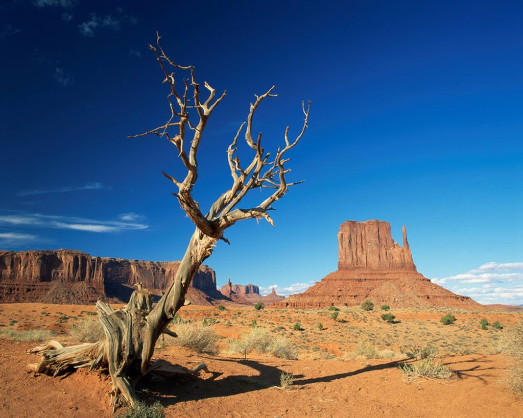 Dead tree in the desert landscape with rock formations and cliffs in the background in Monument Valley, Arizona, United States of America, North America : Stock Photo