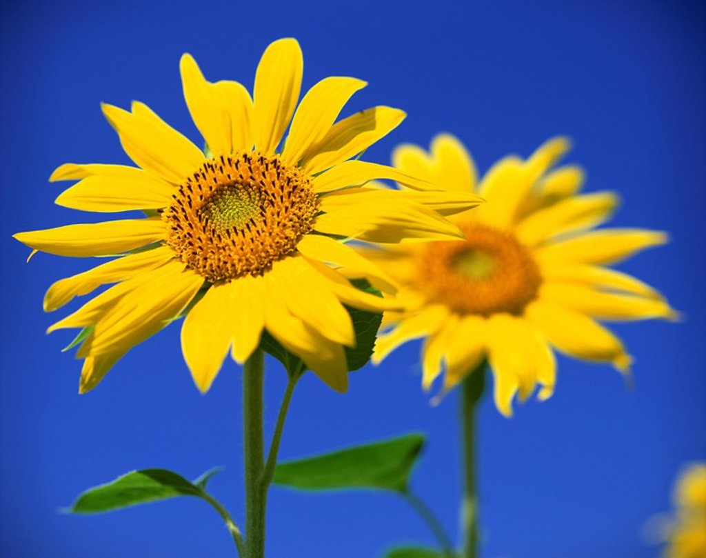 Close_up of sunflower in a field of flowers : Stock Photo