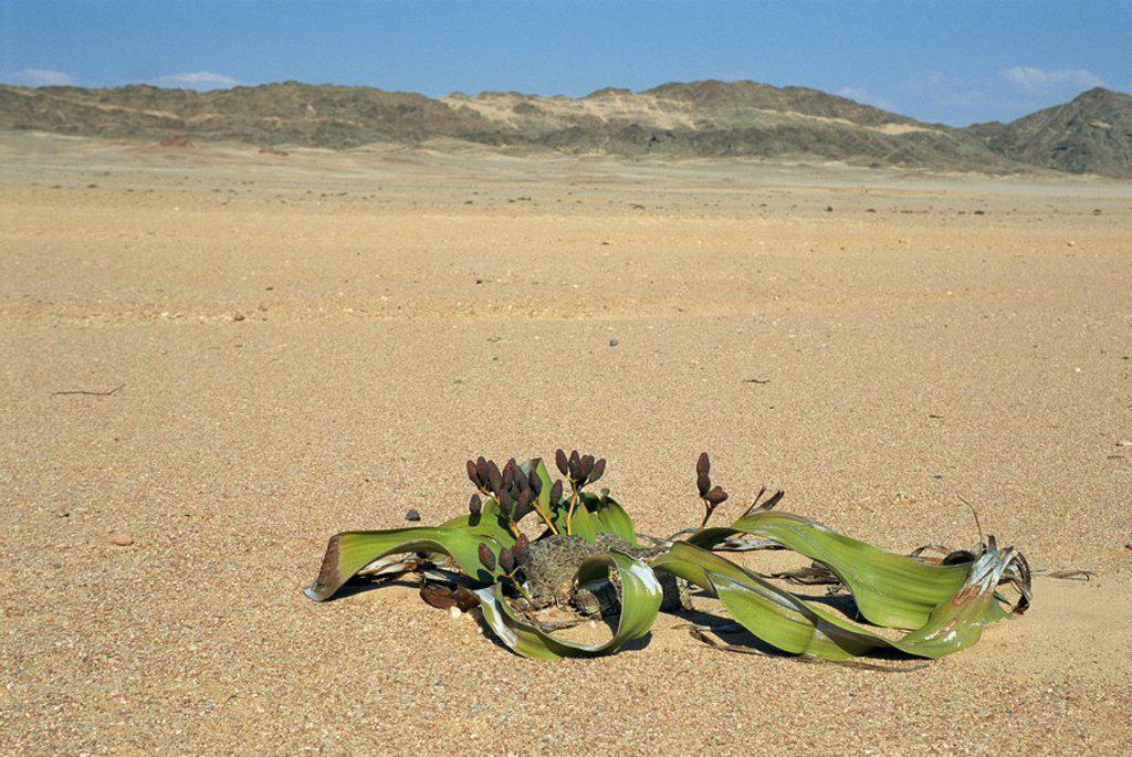 Welwitschia mirabilis plant, Namib_Naukluft National Park, Namibia, Africa : Stock Photo