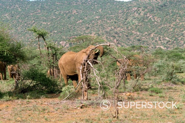 Stock Photo: 1890-1898 Elephants, Samburu National Reserve, Kenya, East Africa, Africa
