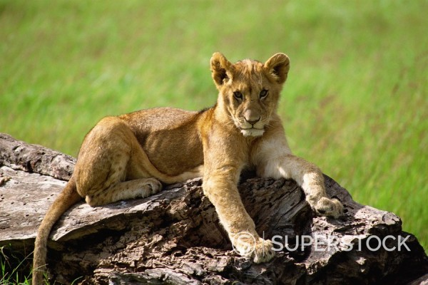 Stock Photo: 1890-1948 Young lion, Masai Mara National Reserve, Kenya, East Africa, Africa