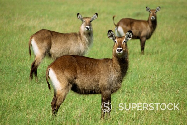 Stock Photo: 1890-1963 Waterbuck, Masai Mara National Reserve, Kenya, East Africa, Africa
