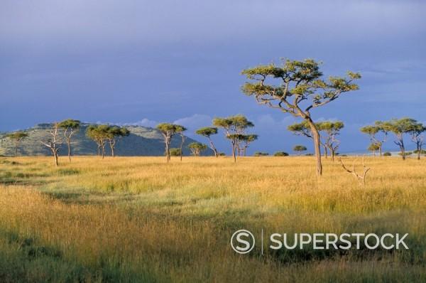 Umbrella acacia trees, Masai Mara, Kenya, East Africa, Africa : Stock Photo