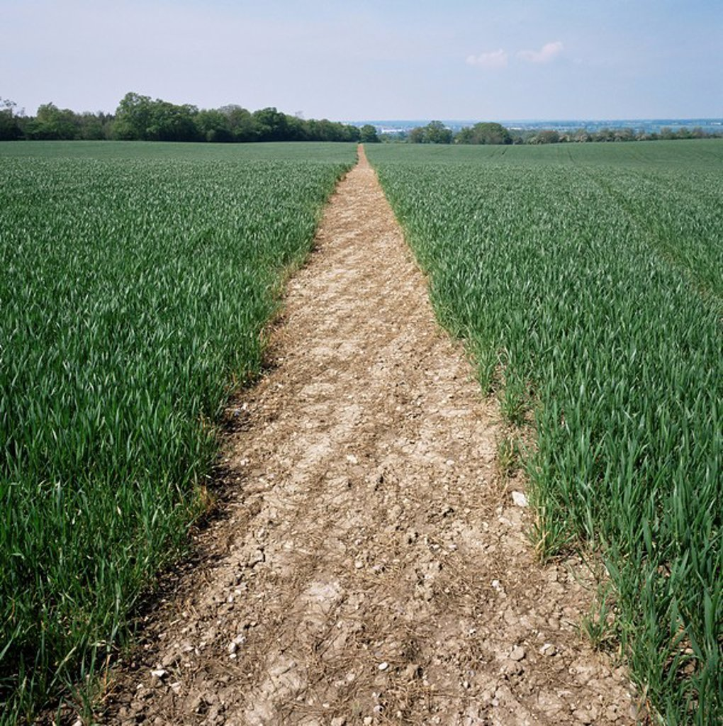 Pathway through field, Essex, United Kingdom, Europe : Stock Photo