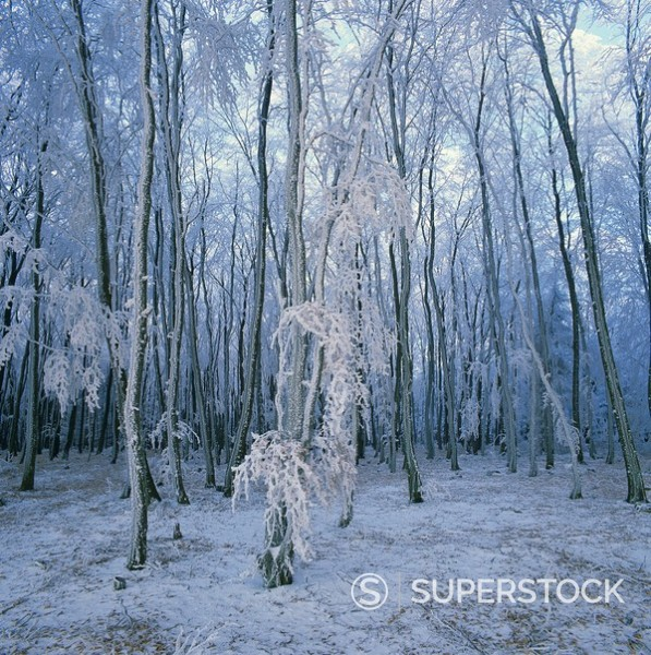 Stock Photo: 1890-22707 Frosted woodland