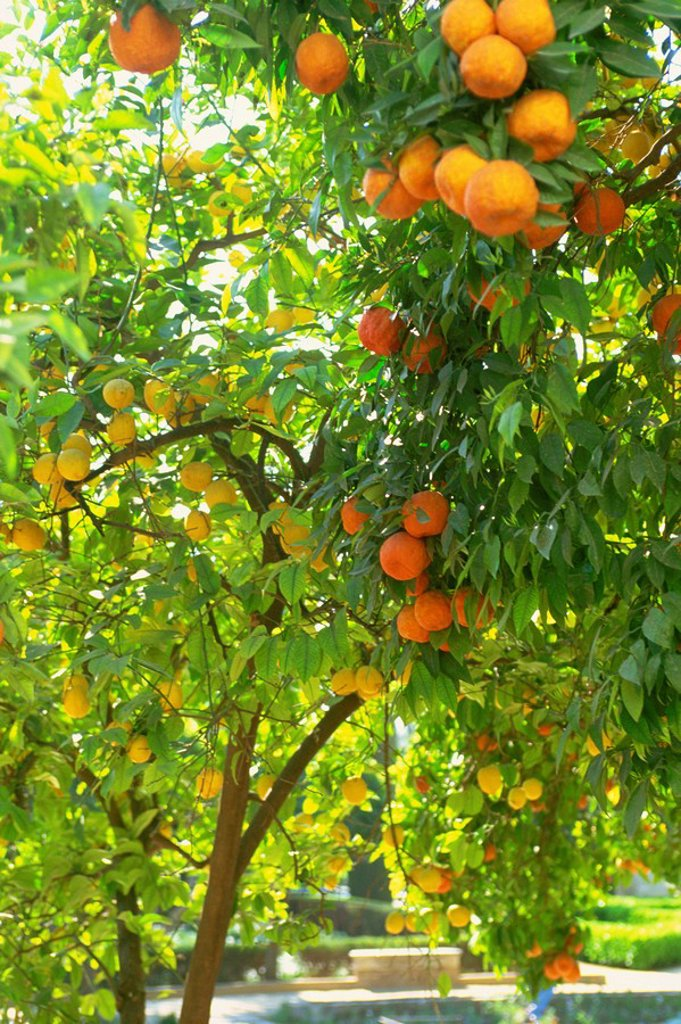 Orange and lemon trees in the Alcazar gardens, Cordoba, Andalucia, Spain, Europe : Stock Photo
