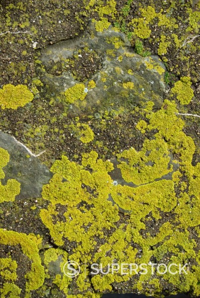 Stock Photo: 1890-2410 Lichen on rocks, Devon, England, United Kingdom, Europe