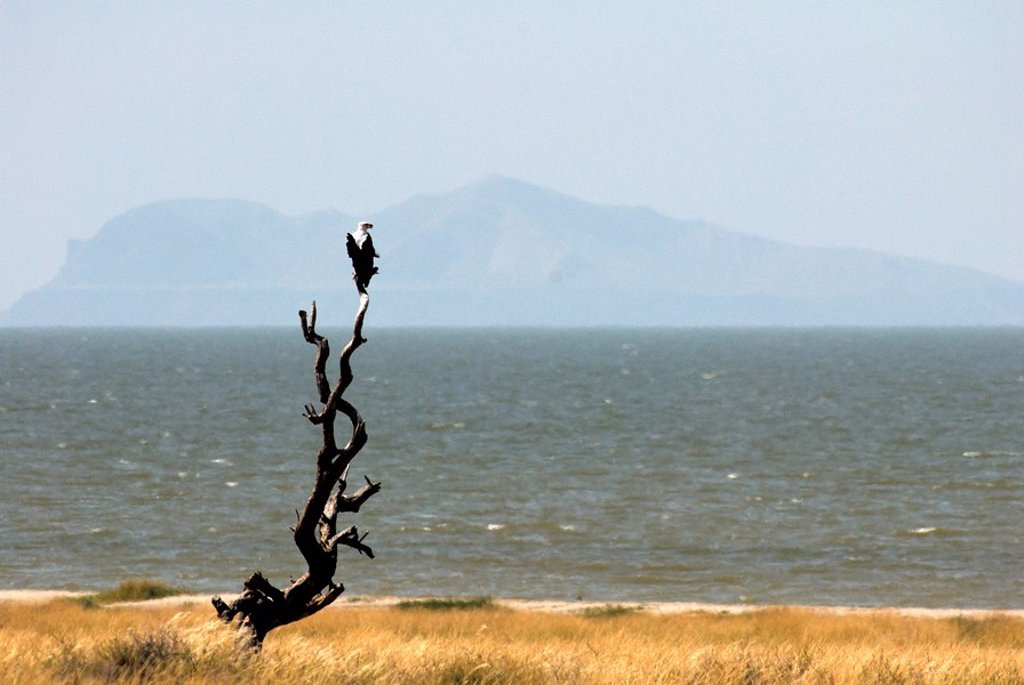 Stock Photo: 1890-25180 Fish eagle, Lake Turkana, Kenya, East Africa, Africa