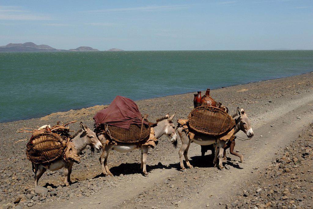Stock Photo: 1890-25184 Donkeys, Lake Turkana, Kenya, East Africa, AFrica