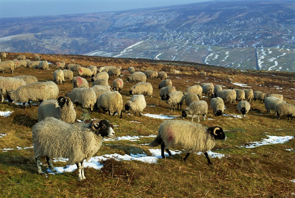 Stock Photo: 1890-26460 Sheep in winter, North Yorkshire Moors, England, United Kingdom, Europe