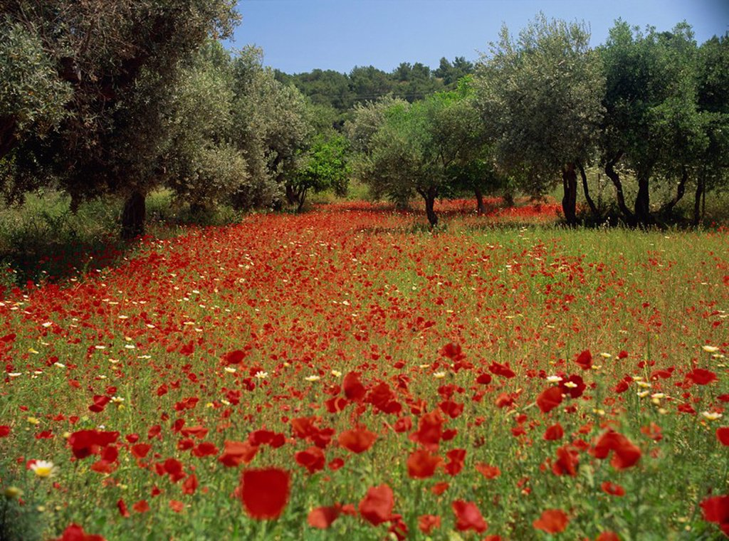 Stock Photo: 1890-28018 Wild flowers including poppies in a grove of trees, on the island of Rhodes, Dodecanese, Greek Islands, Greece, Europe