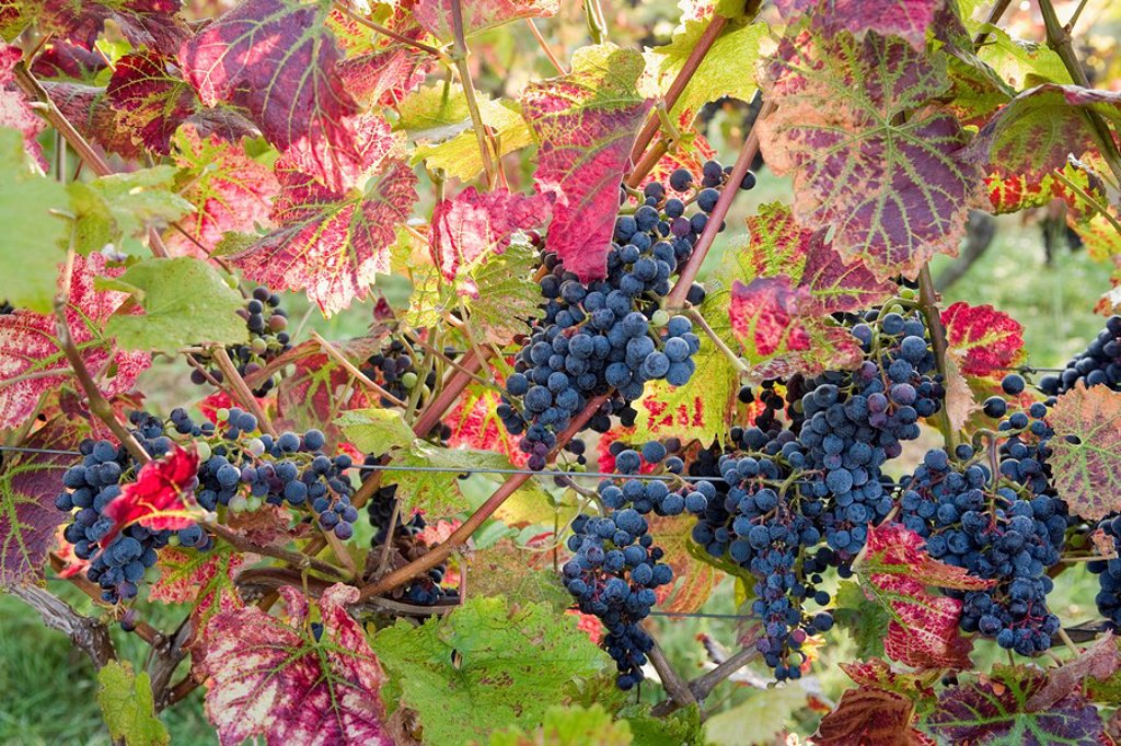 Stock Photo: 1890-28275 Autumn grapes and vines, Denbies vineyard, Dorking, Surrey, England, United Kingdom, Europe