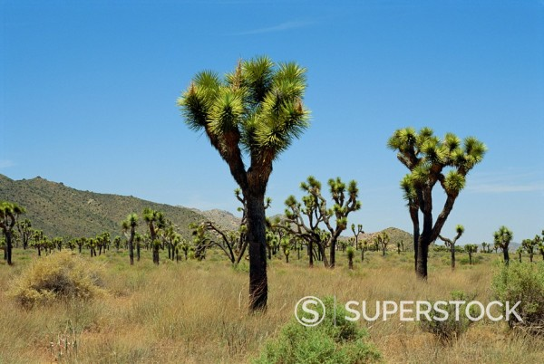 Stock Photo: 1890-2977 Joshua Tree National Monument, California, United States of America, North America