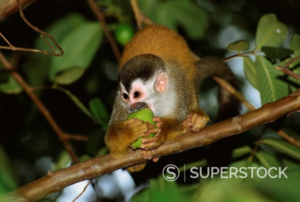 Stock Photo: 1890-30136 Juvenile squirrel monkey Saimiri oerstedii biting a fruit whilst standing on a branch, Manuel Antonio, Quepos, Puntarenas, Costa Rica, Central America