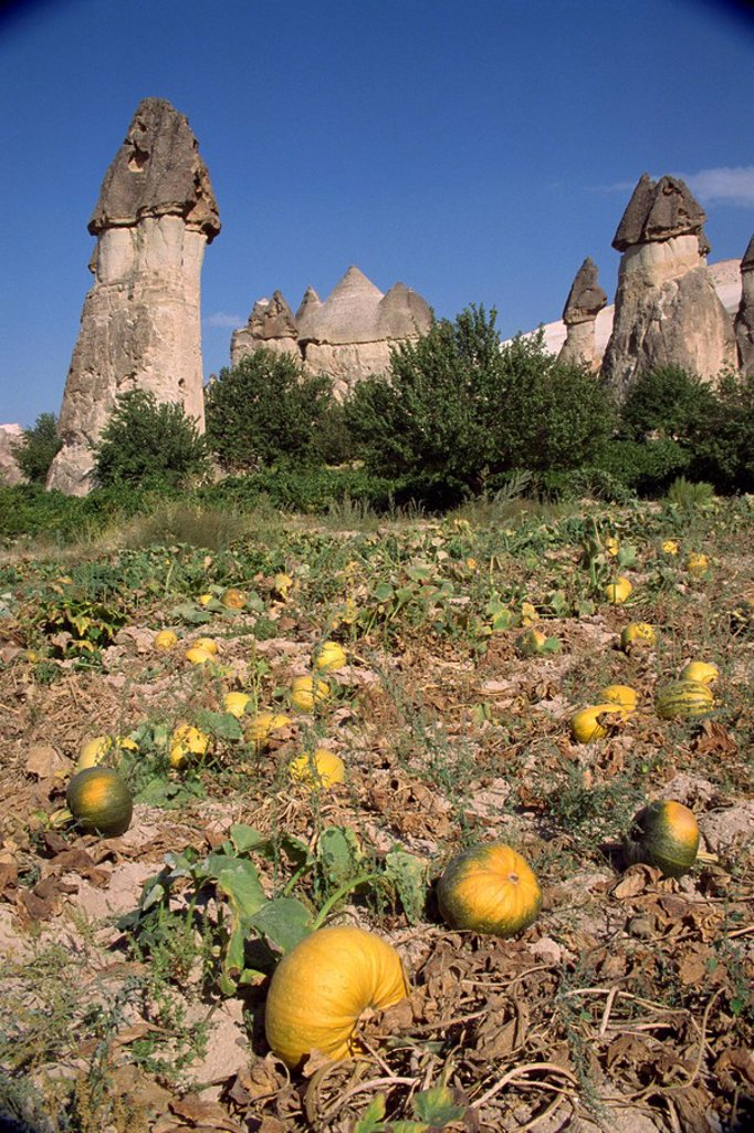 Pumpkins and melons in Pashas vineyard, at Zelve in Cappadocia, Anatolia, Turkey, Asia Minor, Eurasia : Stock Photo