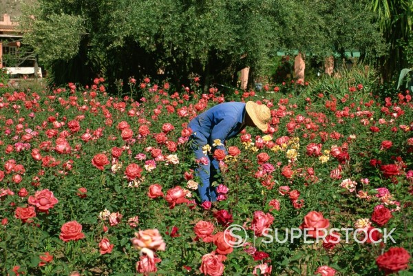 Famous rose gardens, La Rosarie Hotel, Ouirgane, Morocco, North Africa : Stock Photo