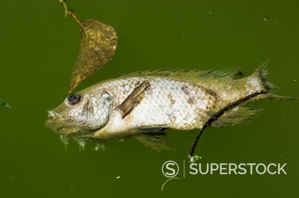 Dead fish, Costa Rica, Central America : Stock Photo