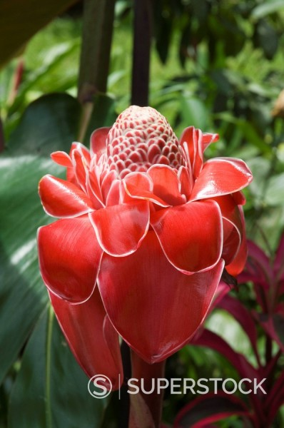 Stock Photo: 1890-33770 Tropical flower, Costa Rica, Central America