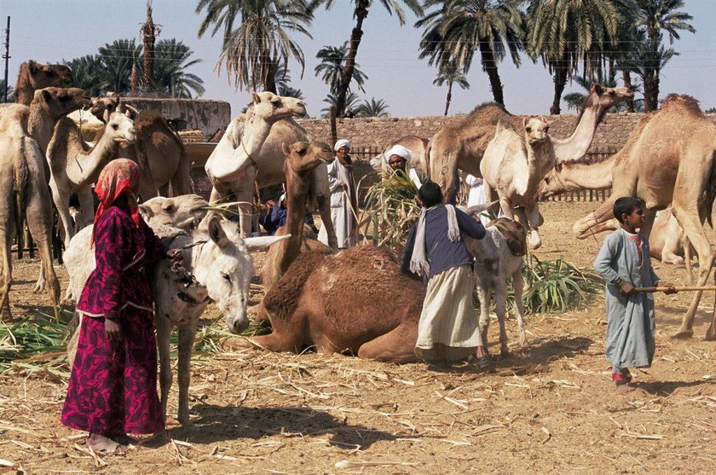 Stock Photo: 1890-37247 Camel market, Darwa, Egypt, North Africa, Africa