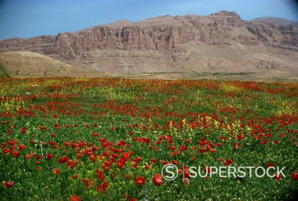 Stock Photo: 1890-3796 Wild flowers near Shiraz, Iran, Middle East