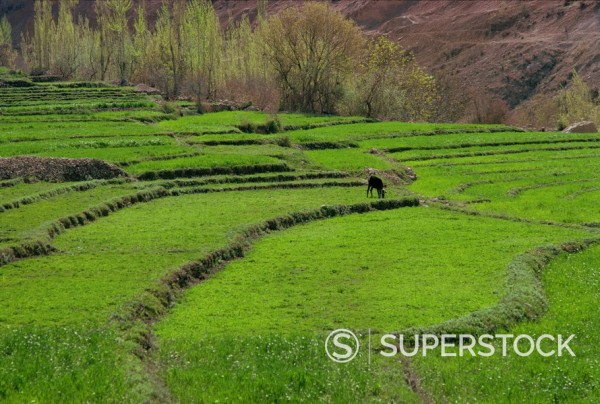 Stock Photo: 1890-3812 Rice fields, High Yasudj, Iran, Middle East