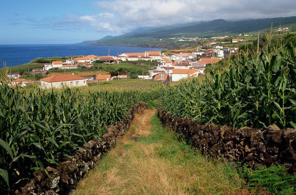 Maize fields at Ribeira do Meio, Pico, Azores, Portugal, Atlantic, Europe : Stock Photo