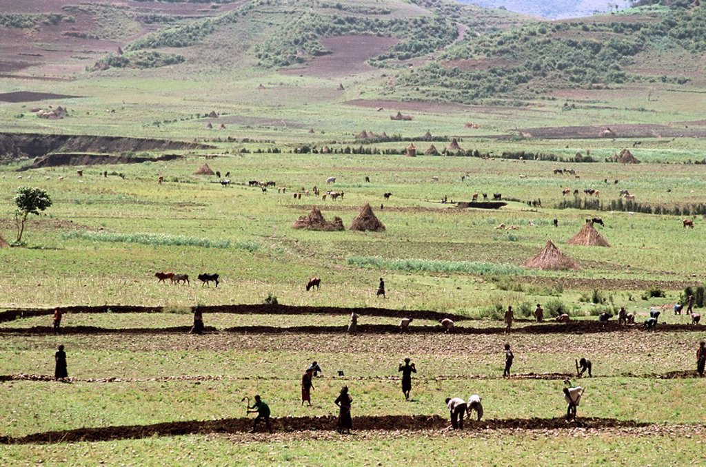 Working on farmland, near Sentebe, Choa region, Ethiopia, Africa : Stock Photo