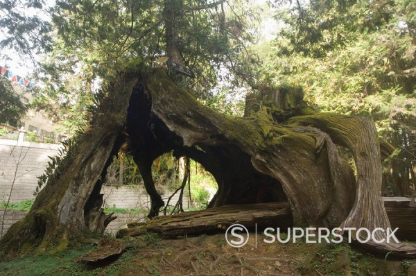 Stock Photo: 1890-45597 Giant tree trunk in cedar forest, Alishan National Forest recreation area, Chiayi County, Taiwan, Asia